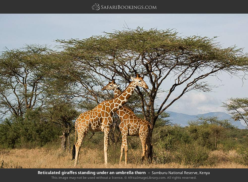 Reticulated giraffes standing under an umbrella thorn in Samburu National Reserve, Kenya