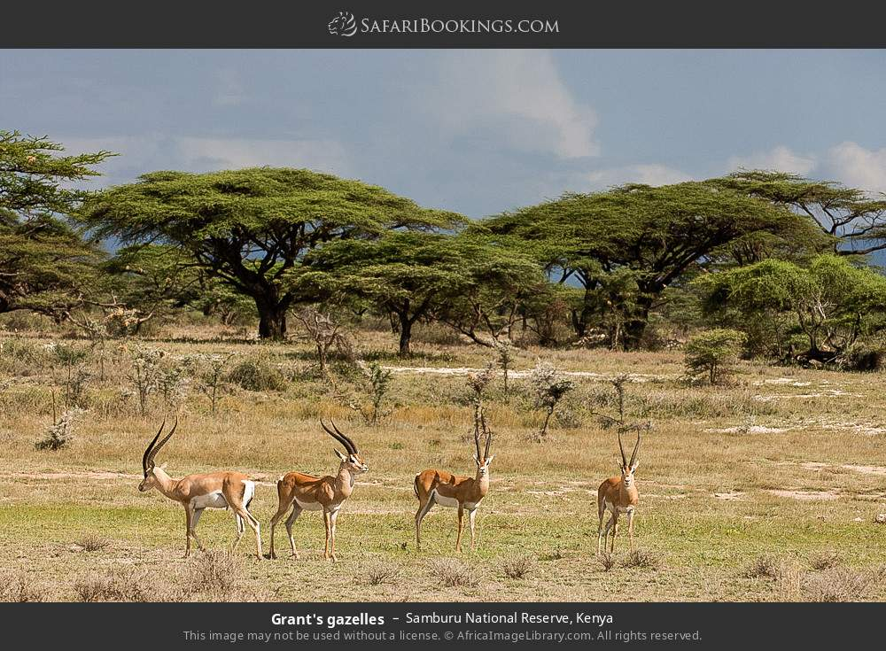 Grant's gazelles in Samburu National Reserve, Kenya