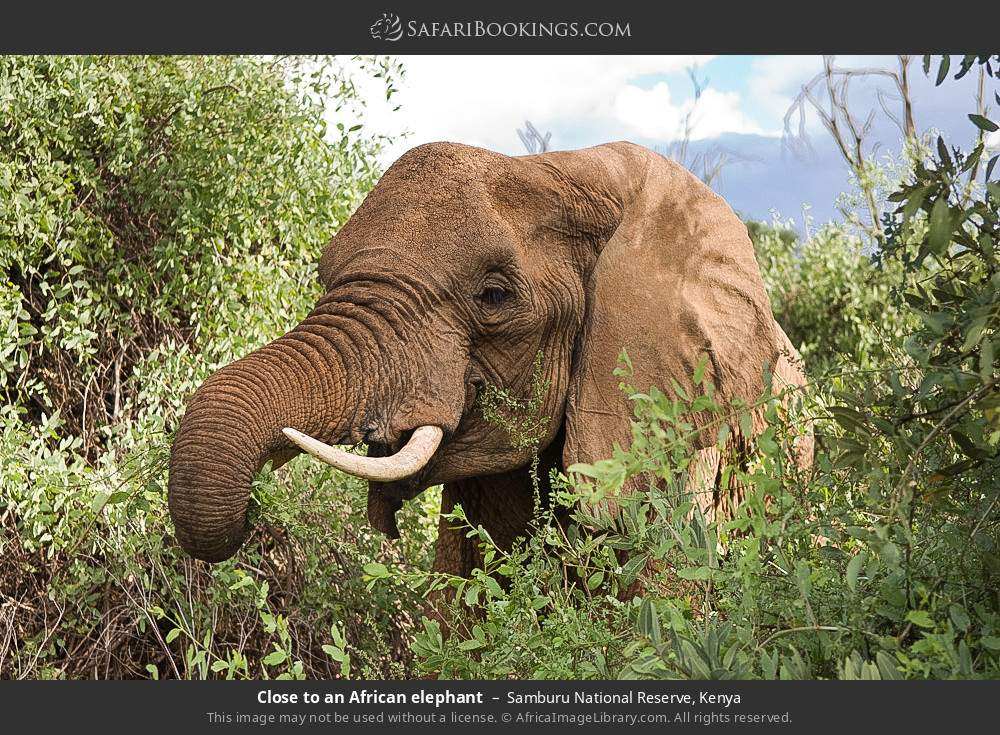 Close to an African elephant in Samburu National Reserve, Kenya