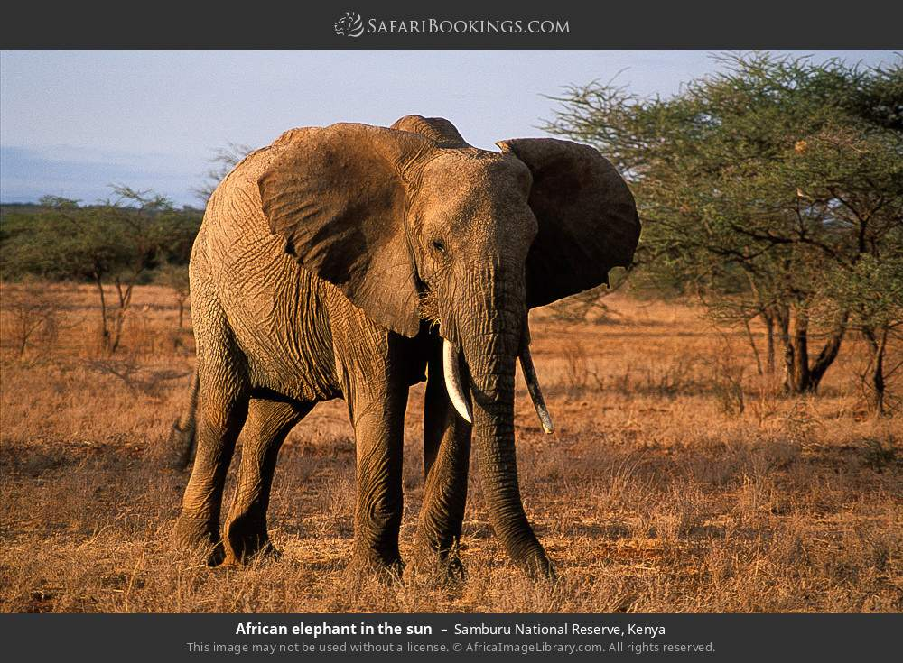 African elephant in the sun in Samburu National Reserve, Kenya