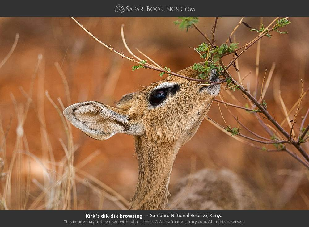 Kirk's dik-dik browsing in Samburu National Reserve, Kenya