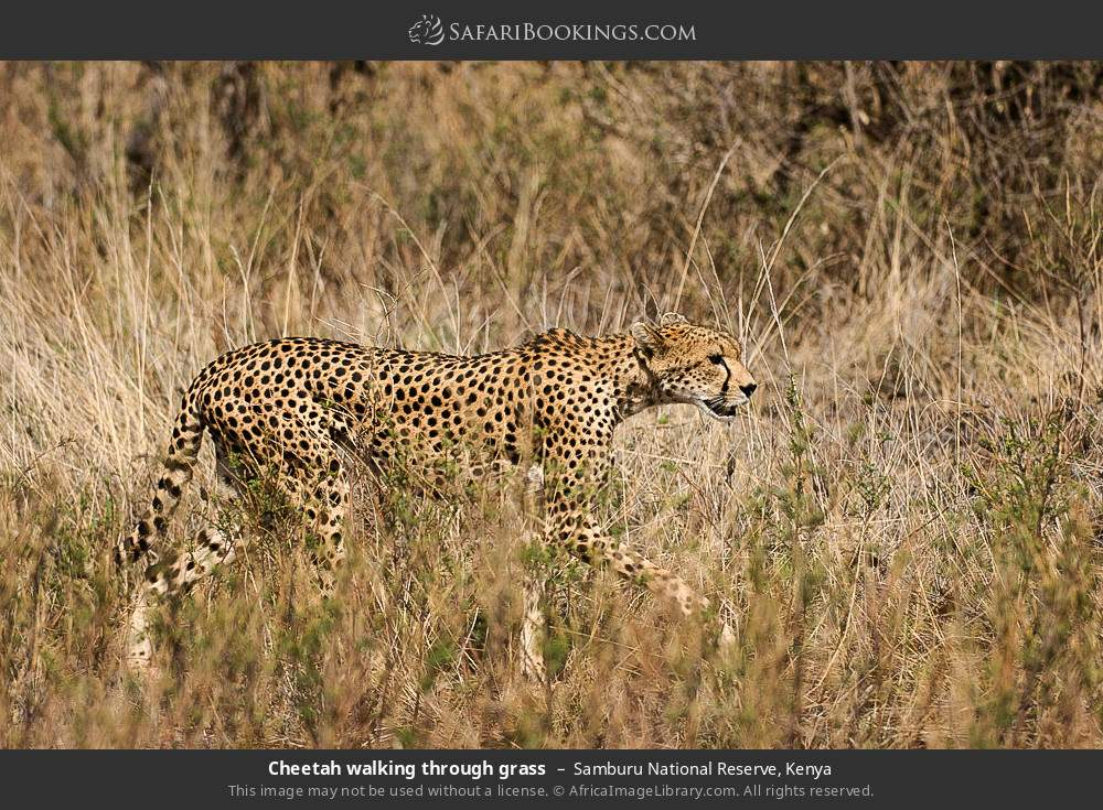 Cheetah walking through grass in Samburu National Reserve, Kenya
