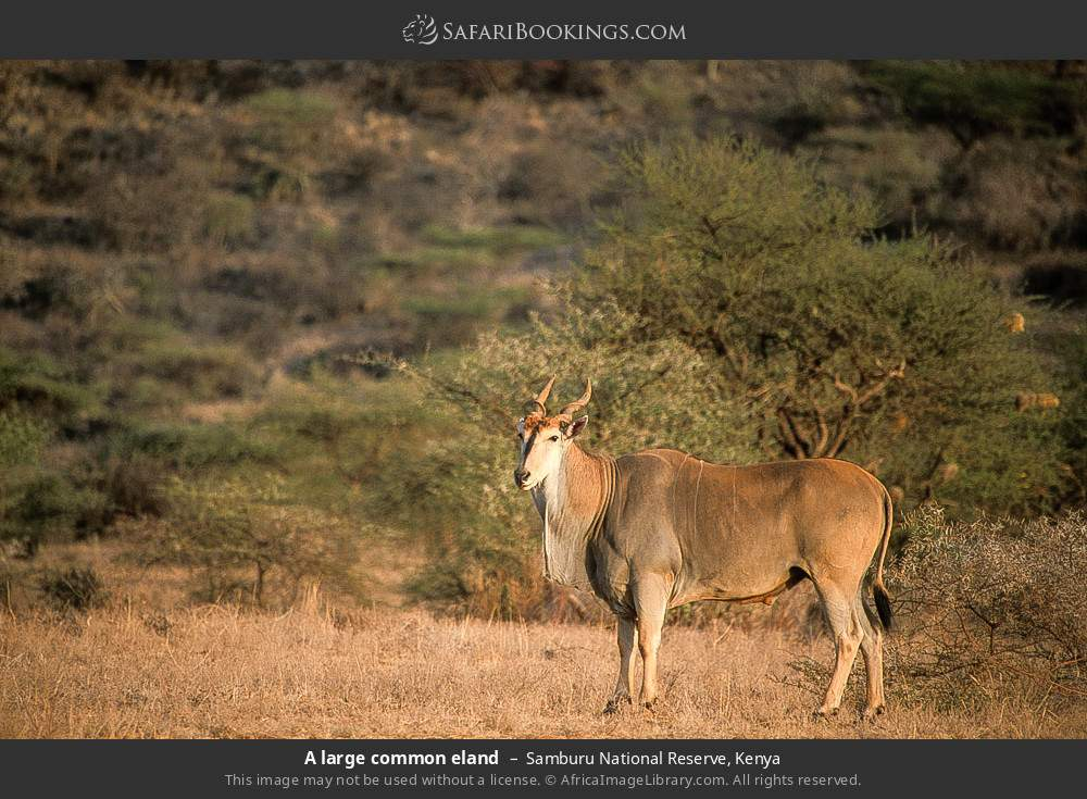 A large common eland in Samburu National Reserve, Kenya