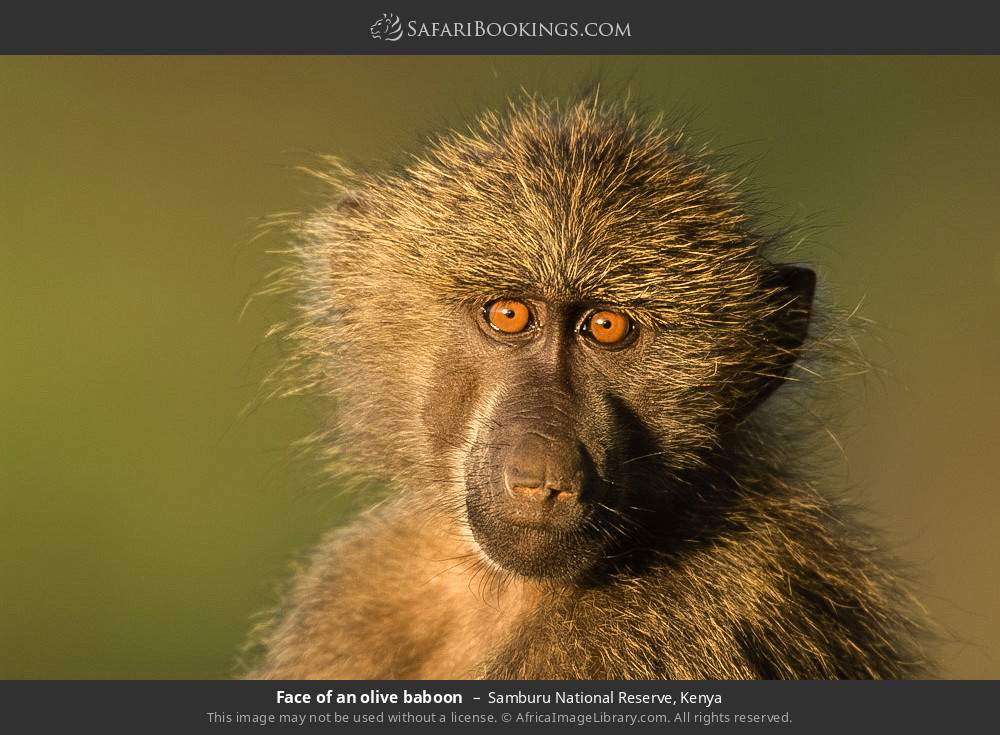 Face of an olive baboon in Samburu National Reserve, Kenya