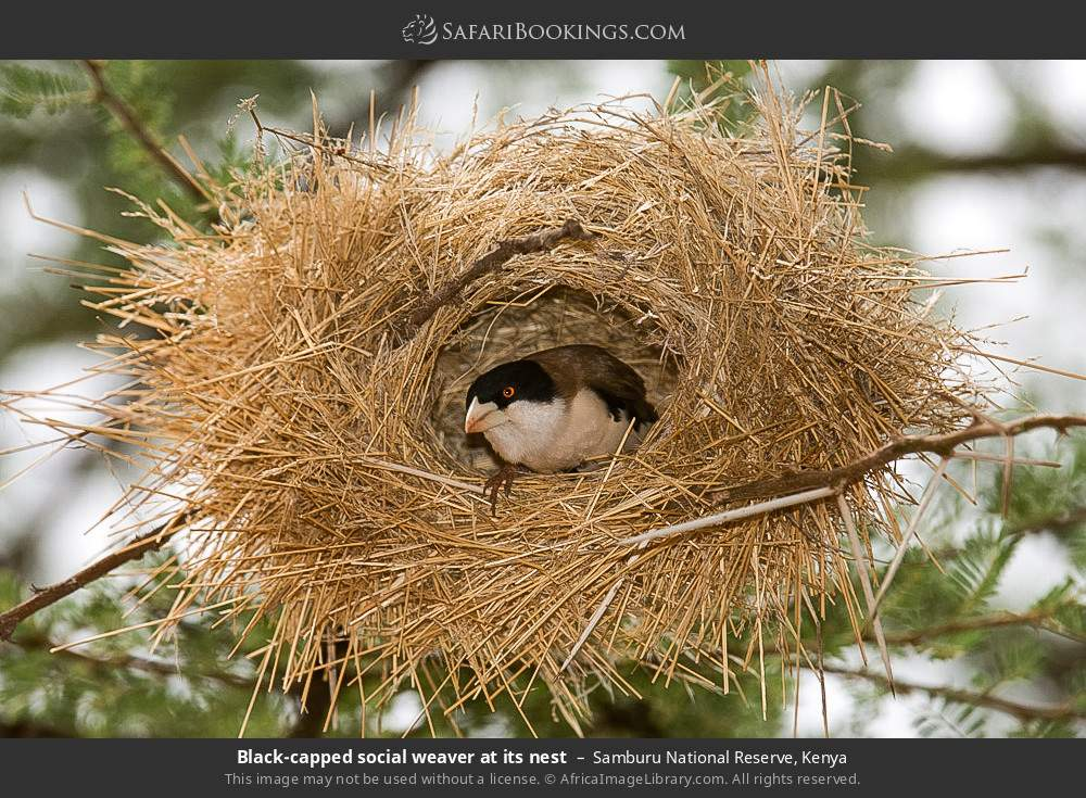 Black-capped social weaver at its nest in Samburu National Reserve, Kenya
