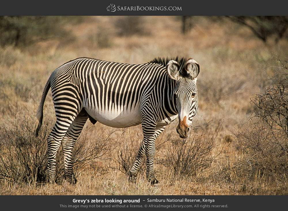 Grevy's zebra looking around in Samburu National Reserve, Kenya