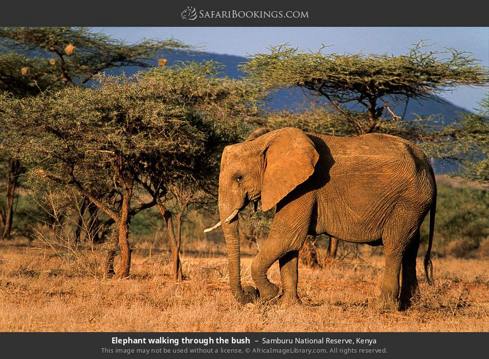 Elephant walking through the bush in Samburu National Reserve, Kenya