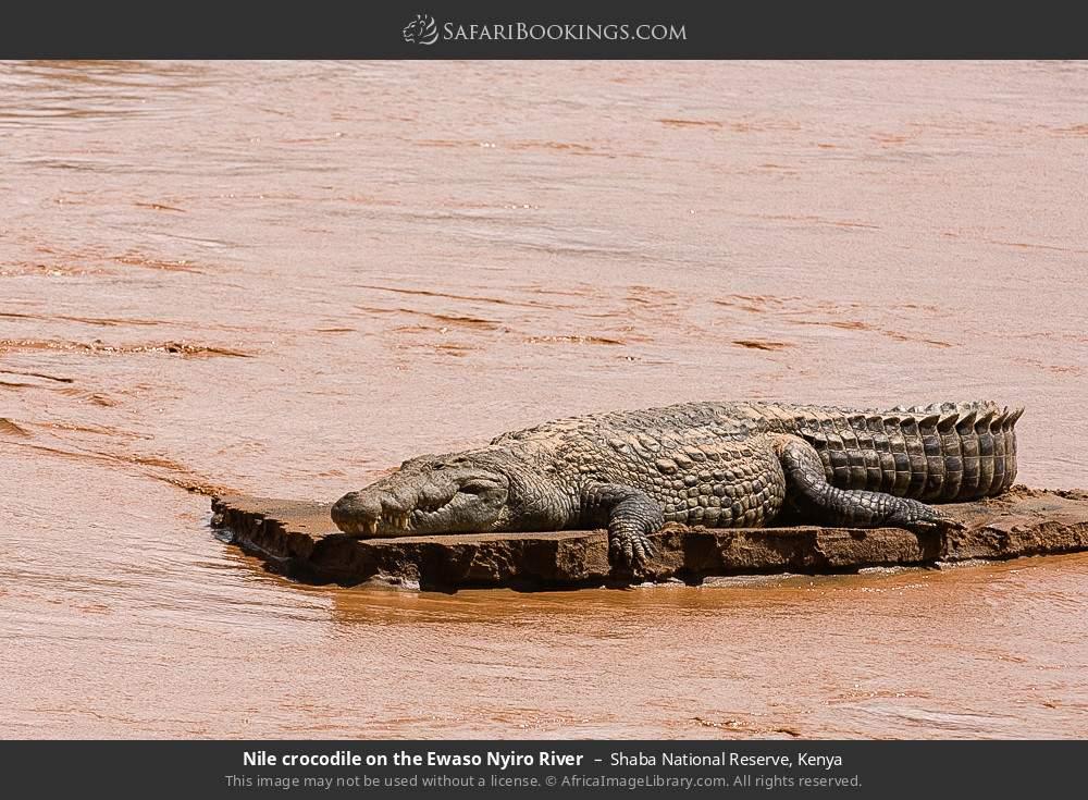 Nile crocodile on the Ewaso Ngiro River in Shaba National Reserve, Kenya
