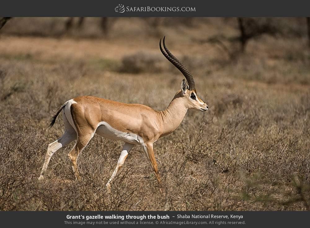 Grant's gazelle walking through the bush in Shaba National Reserve, Kenya