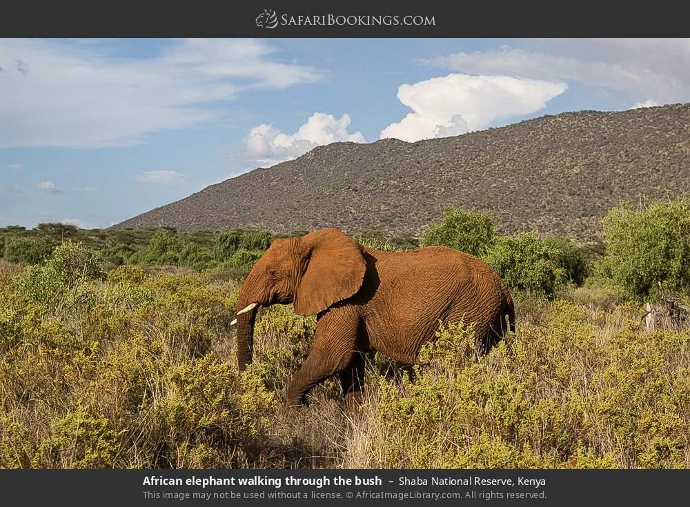 African elephant walking through the bush in Shaba National Reserve, Kenya