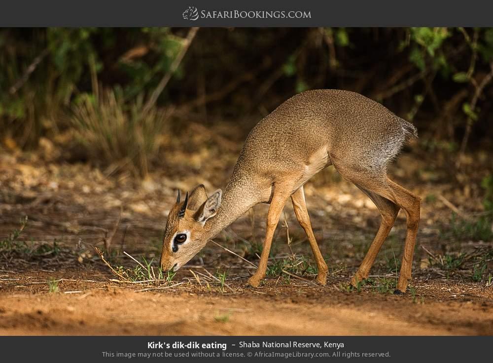 Kirk's dik-dik eating in Shaba National Reserve, Kenya