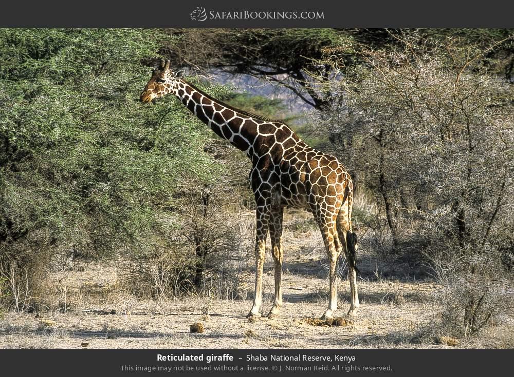 Reticulated giraffe in Shaba National Reserve, Kenya
