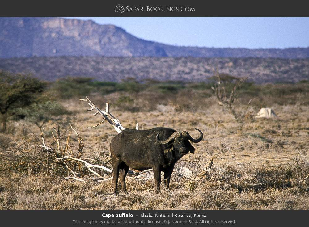Cape buffalo in Shaba National Reserve, Kenya