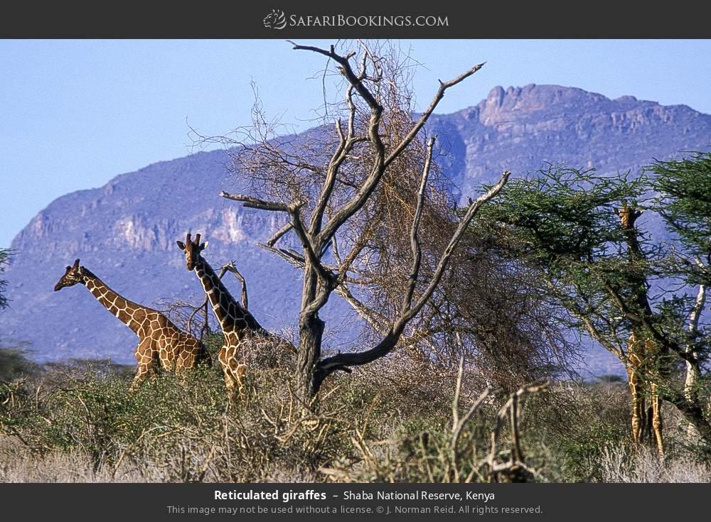 Reticulated giraffes in Shaba National Reserve, Kenya