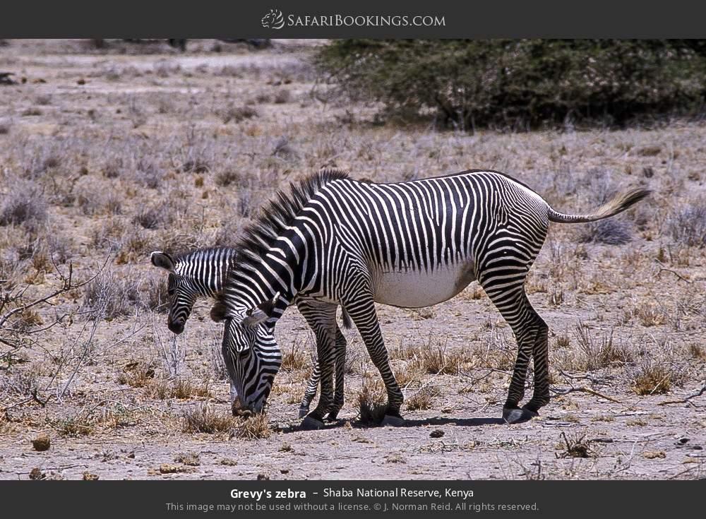 Grevy's zebra in Shaba National Reserve, Kenya
