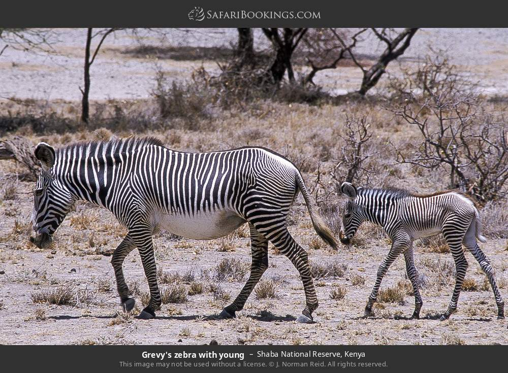 Grevy's zebra with young in Shaba National Reserve, Kenya