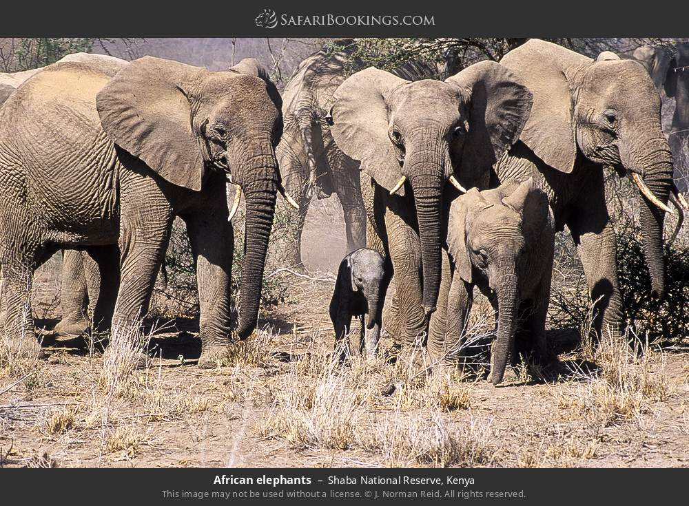 African elephants in Shaba National Reserve, Kenya