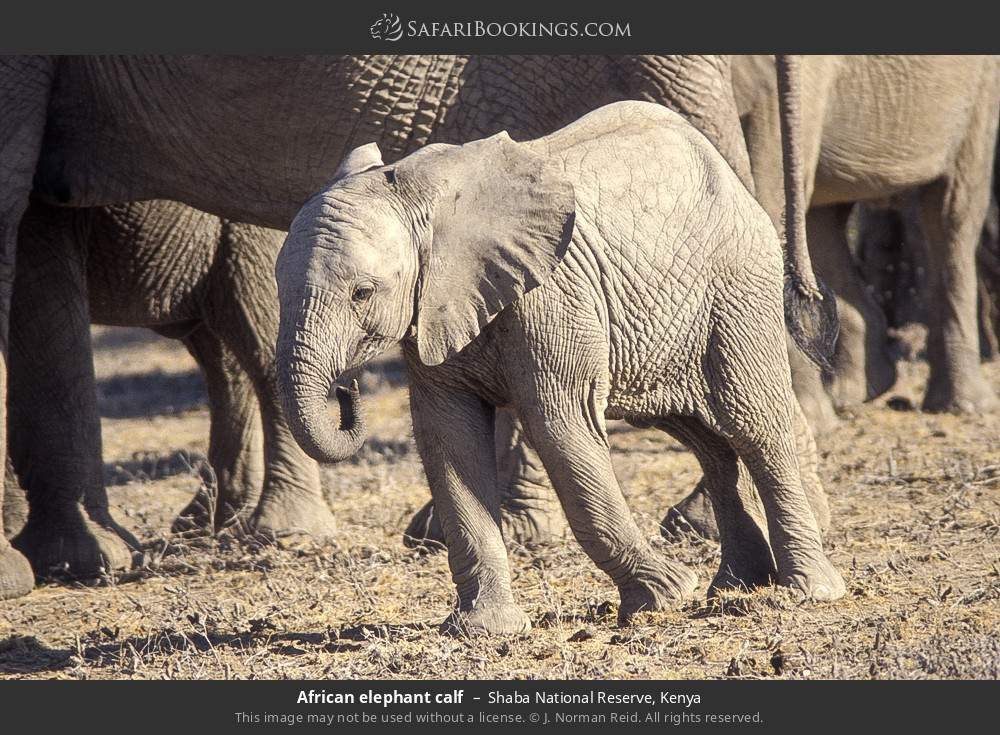 African elephant calf in Shaba National Reserve, Kenya
