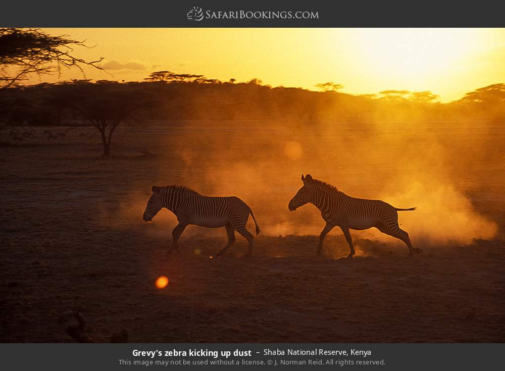 Grevy's zebra kicking up dust in Shaba National Reserve, Kenya