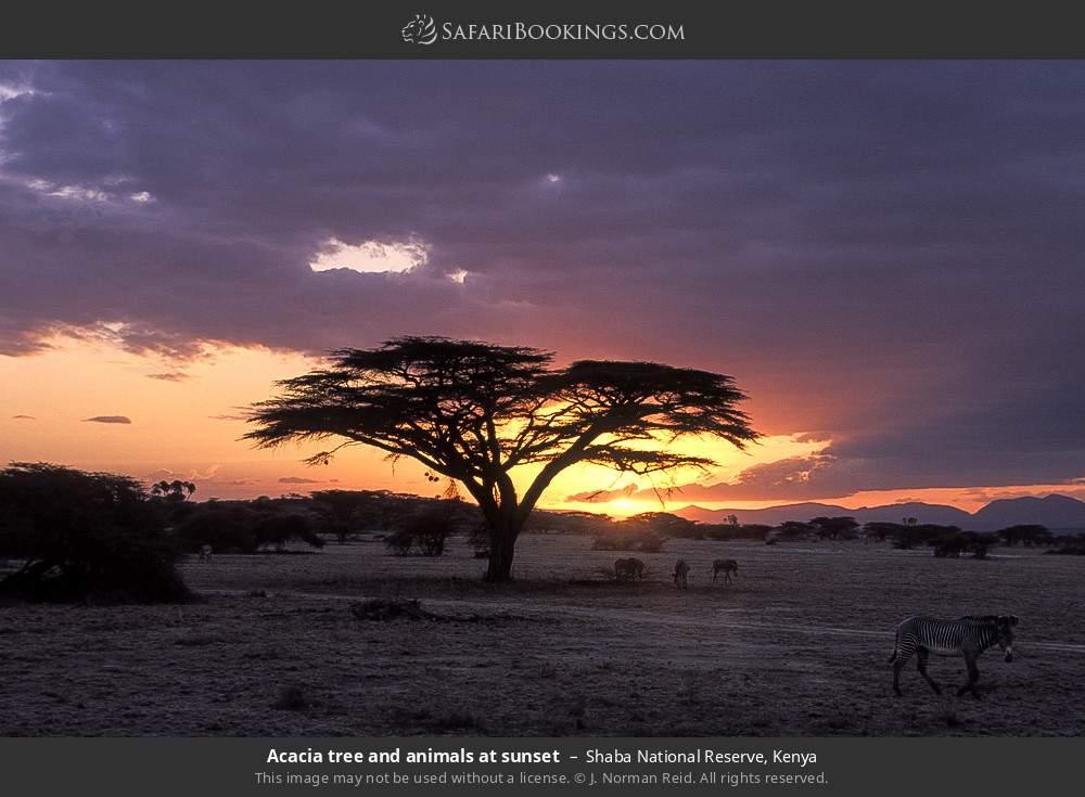 Acacia tree and animals at sunset in Shaba National Reserve, Kenya