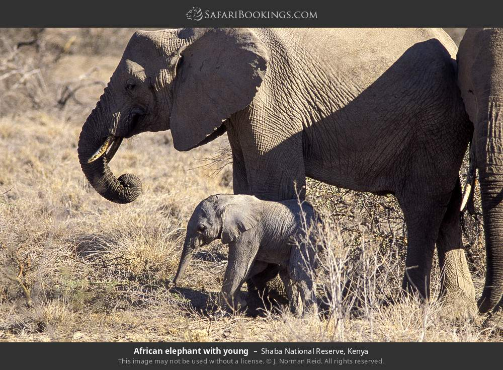 African elephant with young in Shaba National Reserve, Kenya