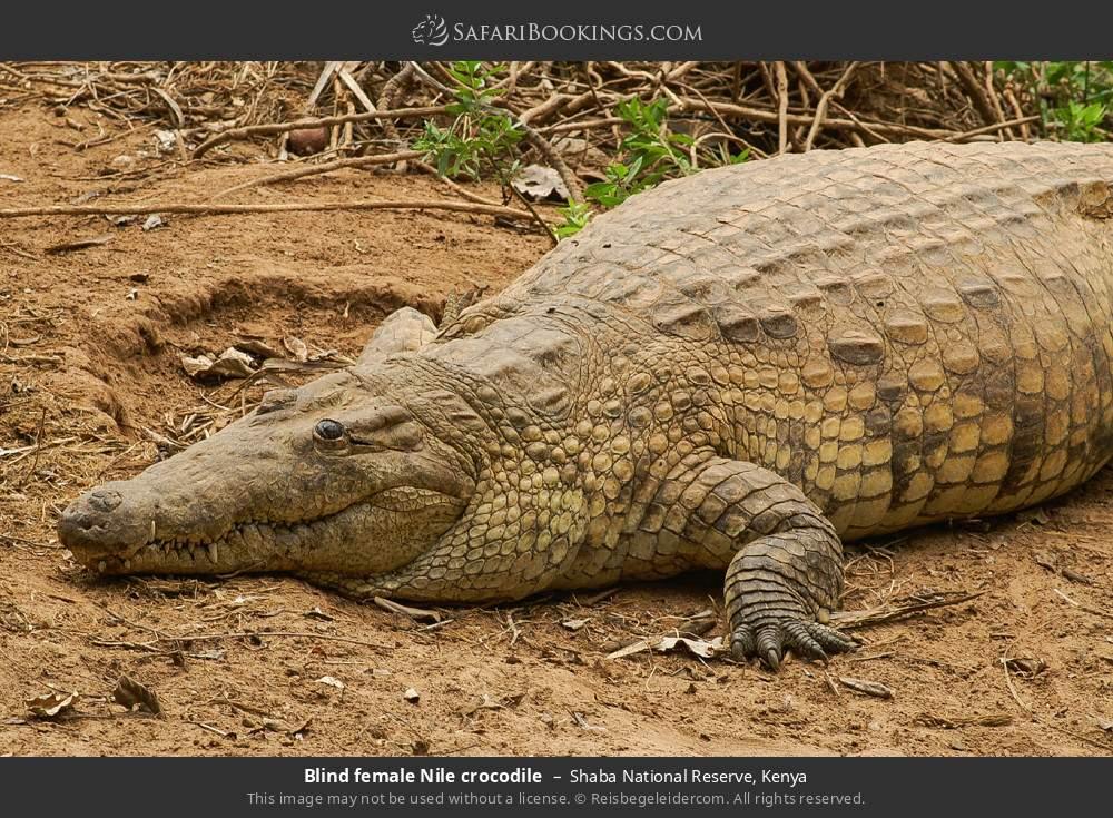 Blind female Nile crocodile in Shaba National Reserve, Kenya