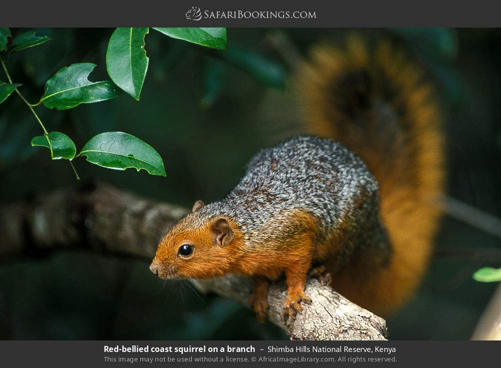 Red -bellied coast squirrel on a branch in Shimba Hills National Reserve, Kenya