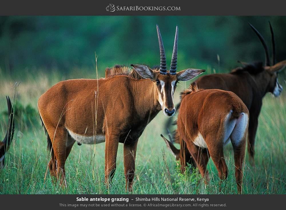 Sable antelope grazing in Shimba Hills National Reserve, Kenya