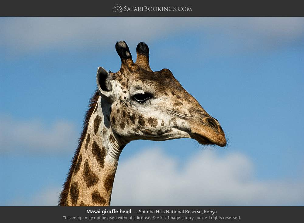 Masai giraffe head in Shimba Hills National Reserve, Kenya