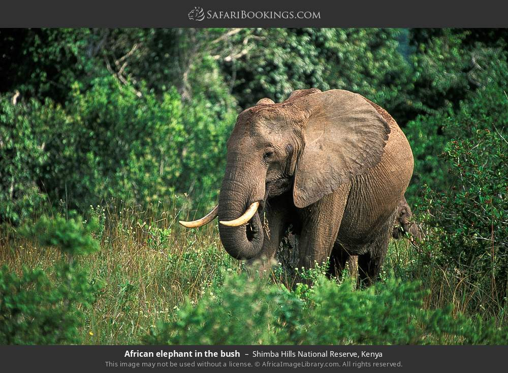 African elephant in the bush in Shimba Hills National Reserve, Kenya