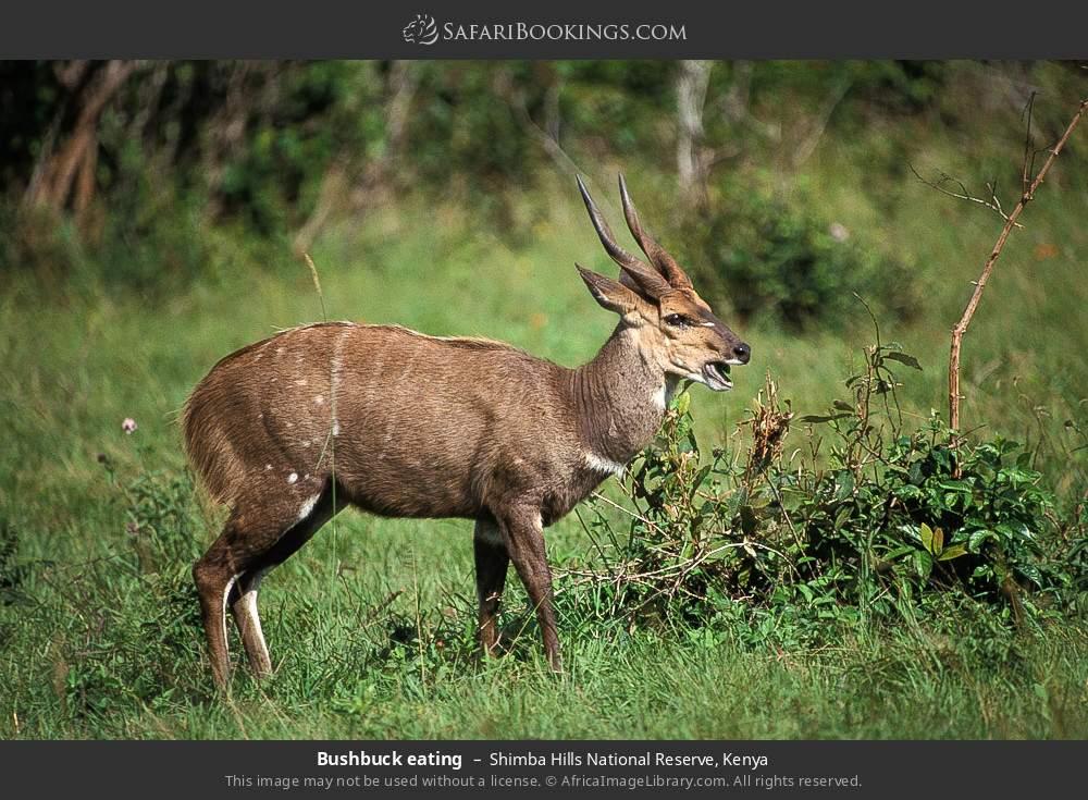 Bushbuck eating in Shimba Hills National Reserve, Kenya