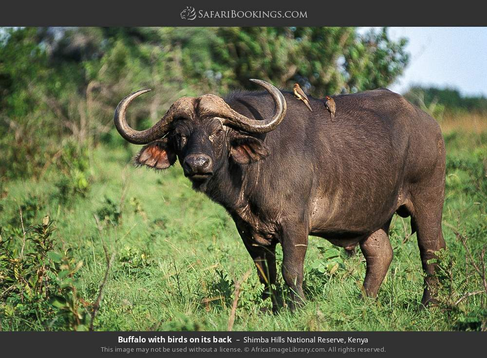 Buffalo with birds on its back in Shimba Hills National Reserve, Kenya