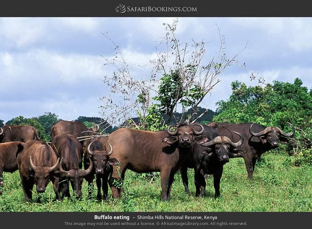 Buffalo eating in Shimba Hills National Reserve, Kenya