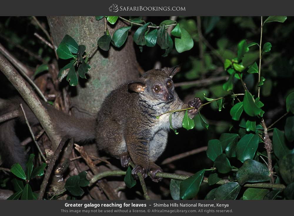 Greater galago reaching for leaves in Shimba Hills National Reserve, Kenya