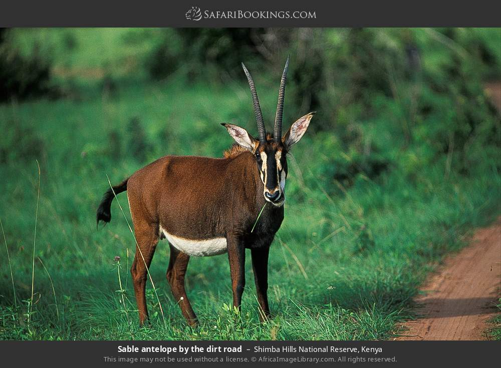 Sable antelope by the dirt road in Shimba Hills National Reserve, Kenya