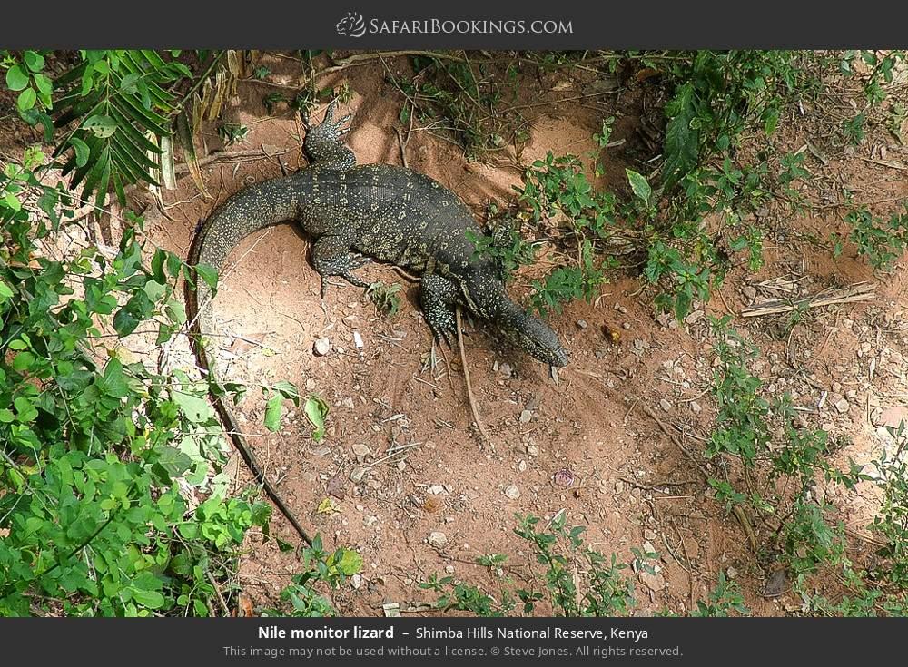 Nile monitor lizard in Shimba Hills National Reserve, Kenya