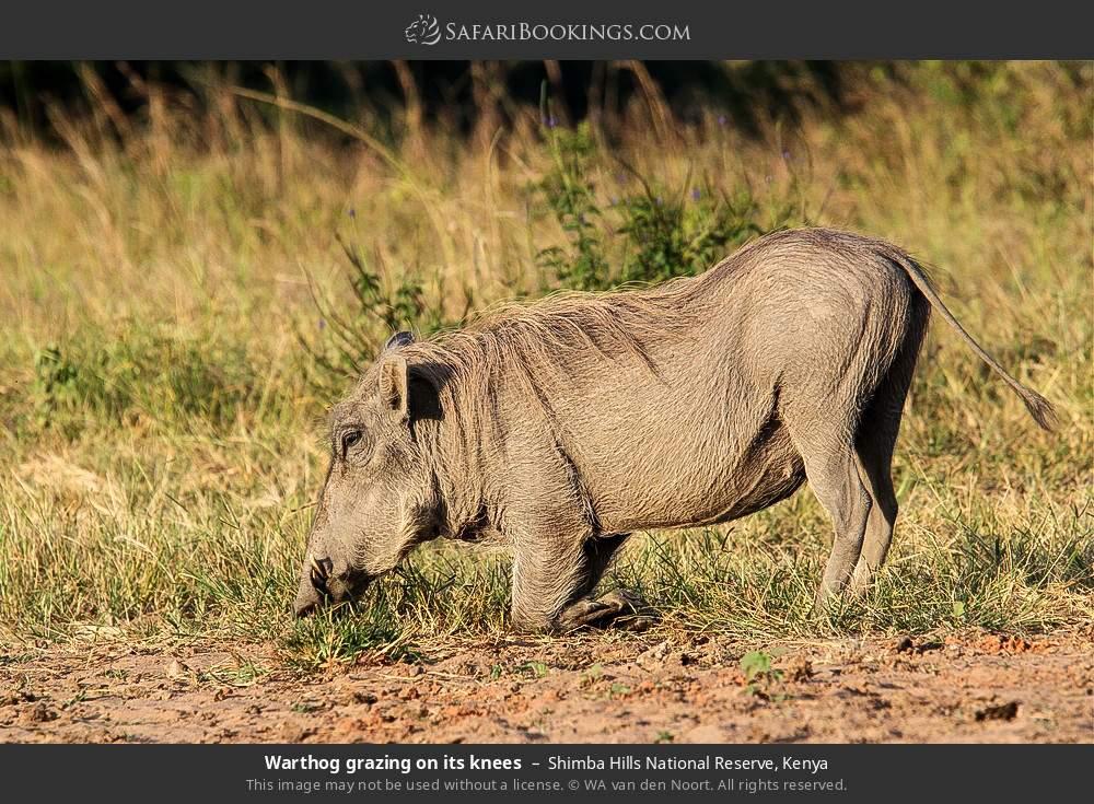 Warthog grazing on its knees in Shimba Hills National Reserve, Kenya
