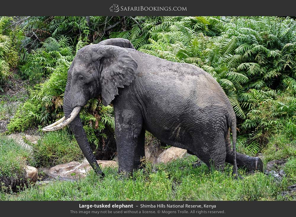 Large-tusked elephant in Shimba Hills National Reserve, Kenya