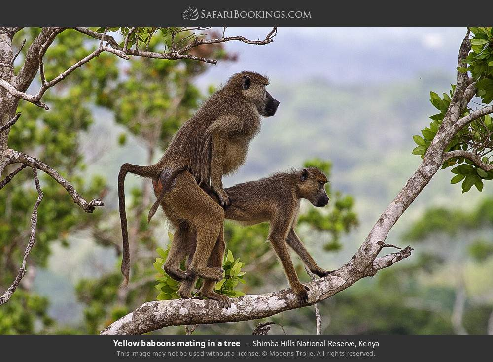 Yellow baboons mating in a tree in Shimba Hills National Reserve, Kenya