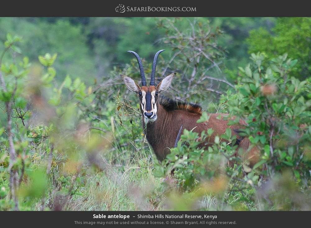 Sable antelope in Shimba Hills National Reserve, Kenya