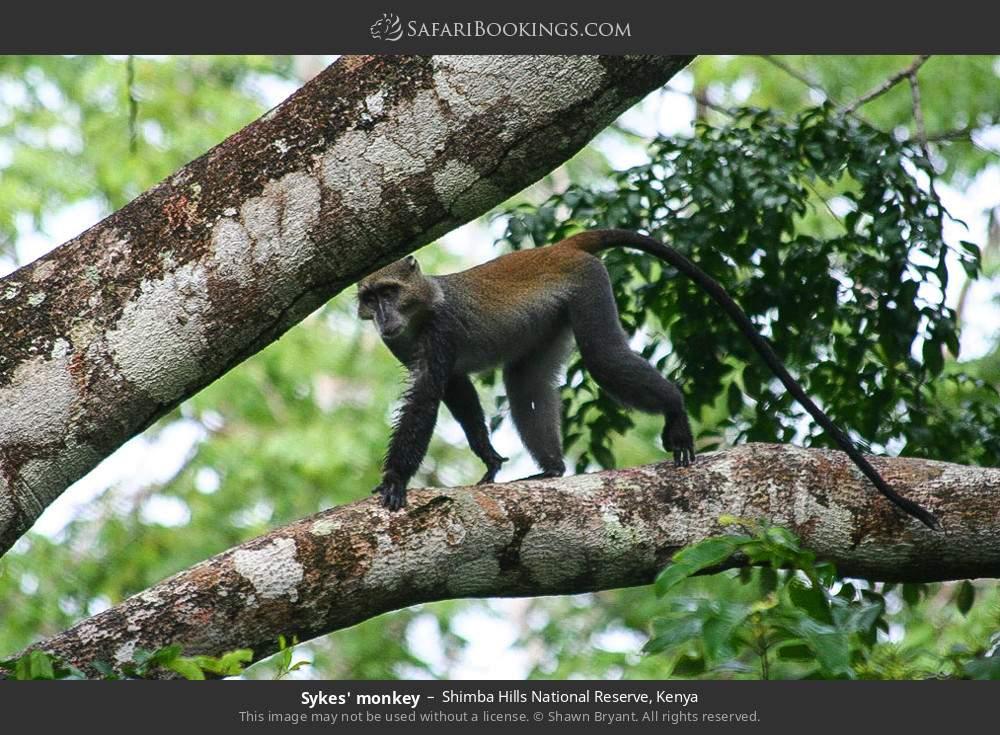 Skykes monkey in Shimba Hills National Reserve, Kenya