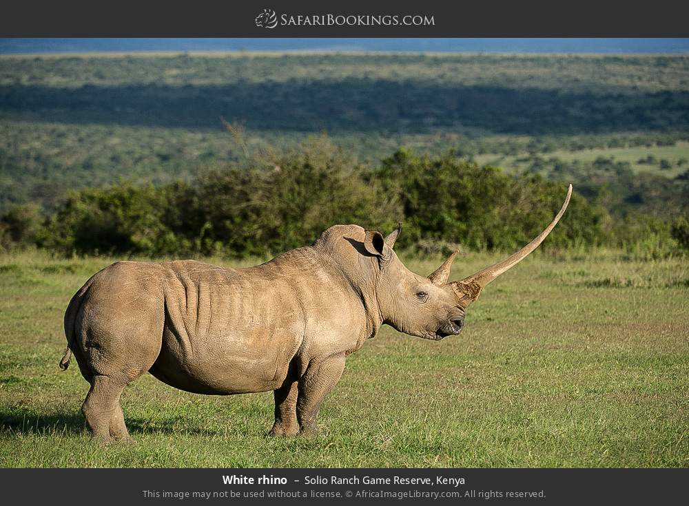 White rhino in Solio Ranch Game Reserve, Kenya