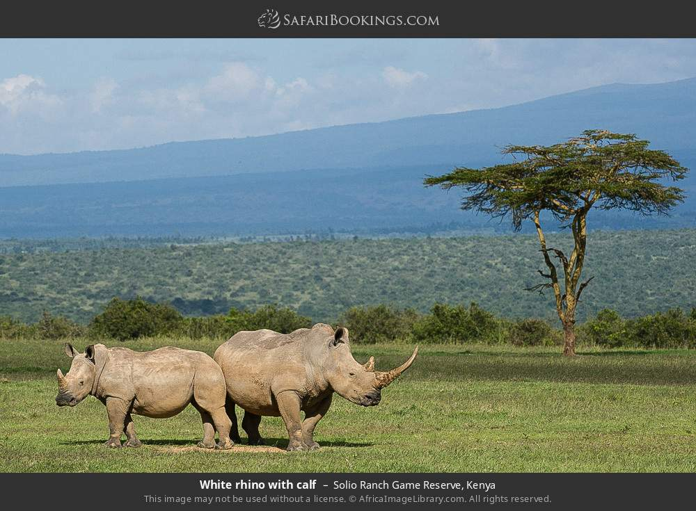 White rhino with calf in Solio Ranch Game Reserve, Kenya