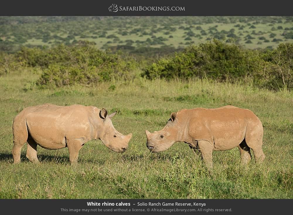 White rhino calves in Solio Ranch Game Reserve, Kenya