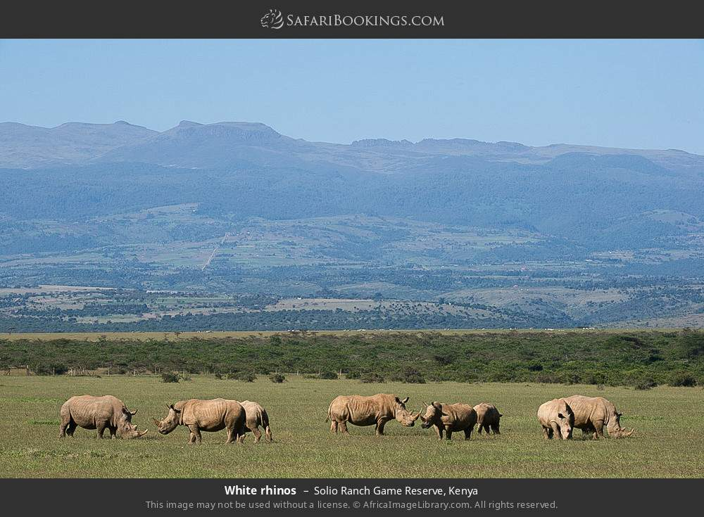 White rhinos in Solio Ranch Game Reserve, Kenya