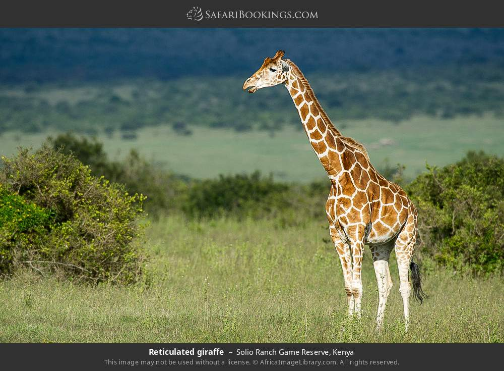 Reticulated giraffe in Solio Ranch Game Reserve, Kenya