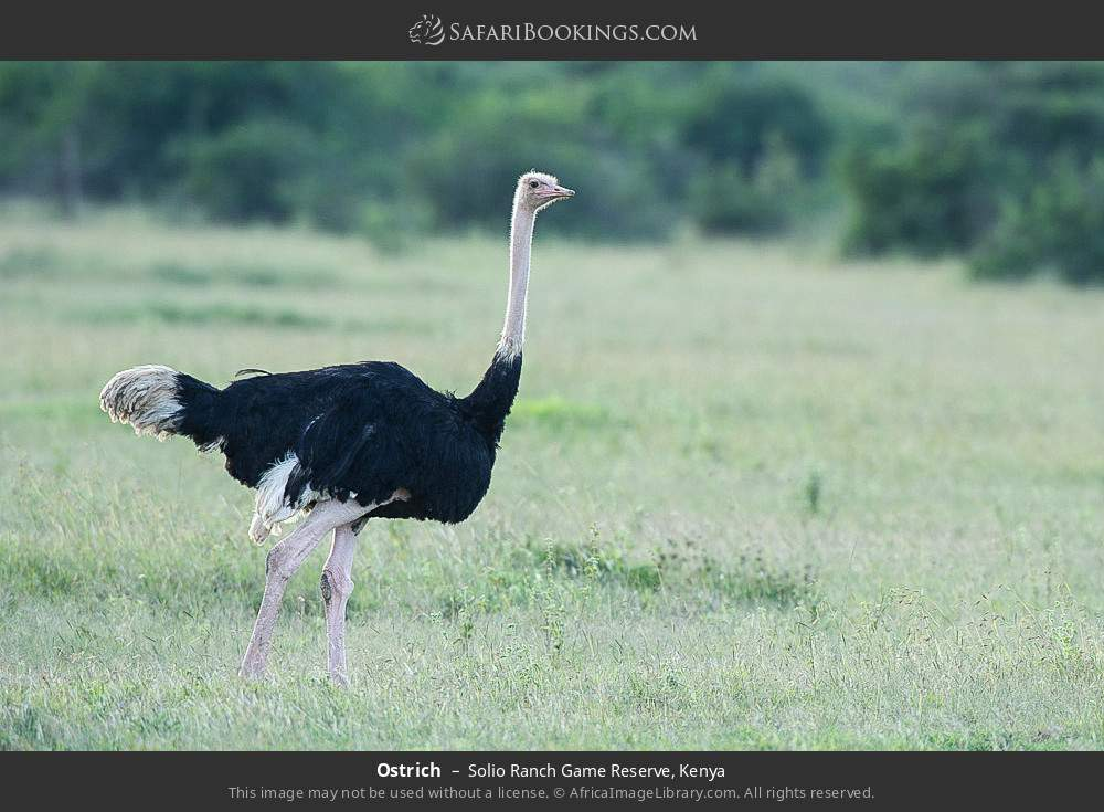 Ostrich in Solio Ranch Game Reserve, Kenya