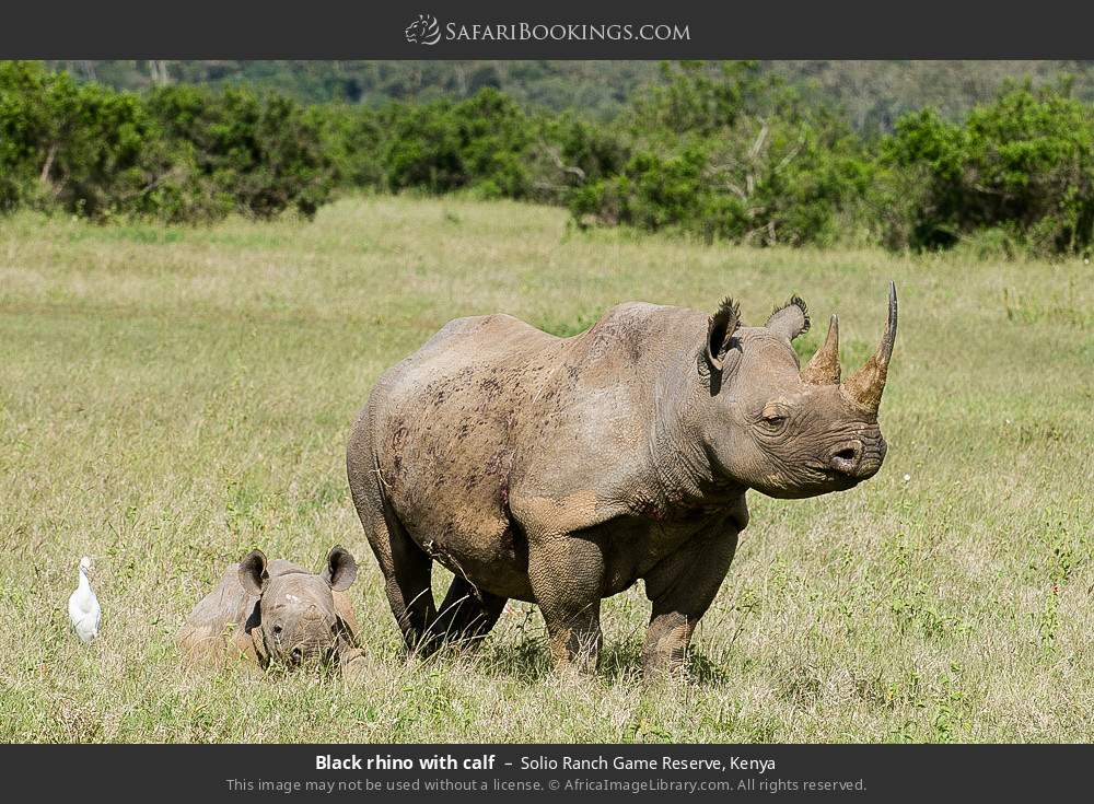 Black rhino with calf in Solio Ranch Game Reserve, Kenya