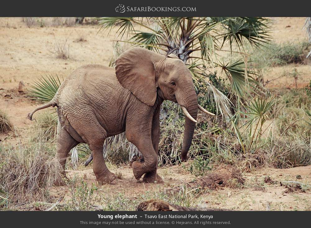 Young elephant in Tsavo East National Park, Kenya