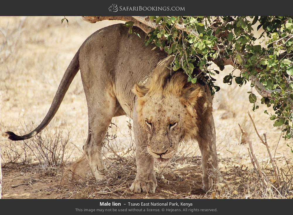 Male lion in Tsavo East National Park, Kenya